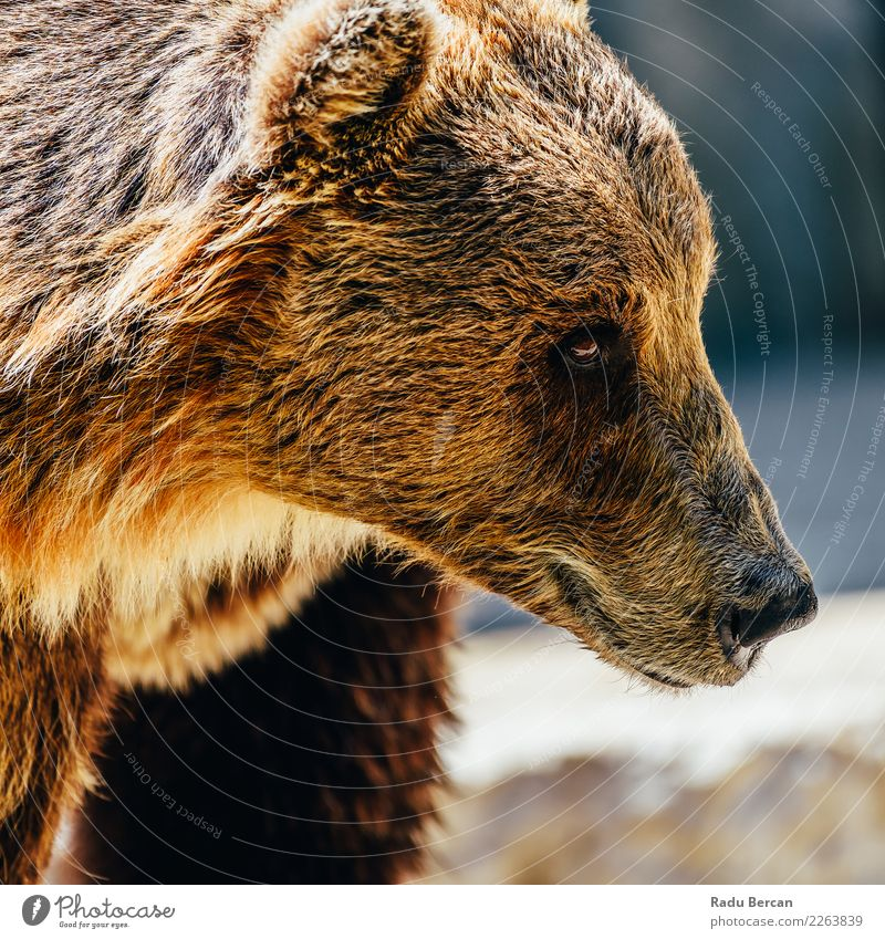 Brown Bear (Ursus Arctos) Portrait Nature Animal Black Environment Wild Wild animal Large Mammal European Animal face Nordic Alaska Carnivore Taiga