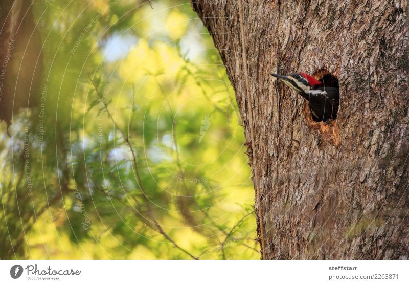 Male pileated woodpecker bird Dryocopus pileatus Man Adults Tree Garden Park Animal Bird 1 Wood Brown Green Woodpecker avian Nest Hole cypress tree