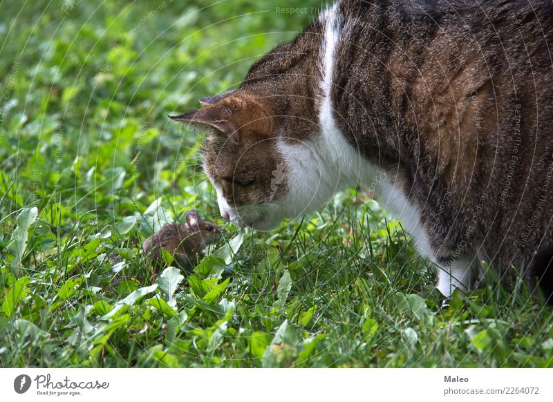 Cat and mouse Domestic cat Playing Mouse Pet Animal Carnivore Cat eyes Kitten Pelt House (Residential Structure) Looking Mammal Nature Nose Paw Honey pussycat
