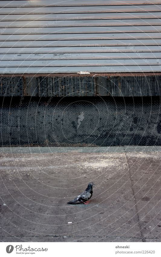 street bird Animal Facade Venetian blinds Bird Pigeon 1 Stone Concrete Gray Loneliness Calm Town Subdued colour Copy Space top Copy Space middle Animal portrait