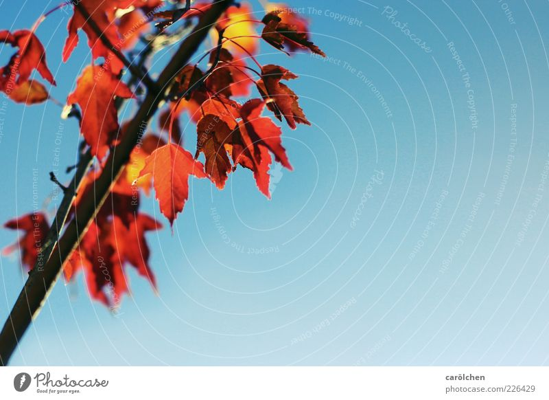 Text space right Environment Nature Autumn Tree Leaf Blue Yellow Orange Autumn leaves Autumnal colours Indian Summer Branch copper cherry Copper rock pear