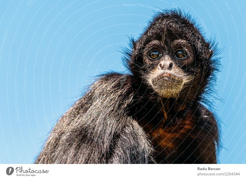 Black-Headed Spider Monkey (Ateles Fusciceps) Nature Blue Summer Colour Animal Funny Natural Wild Wild animal Sit Wait Cute Observe Friendliness