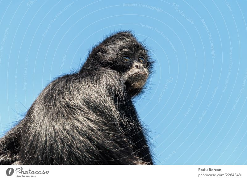 Black-Headed Spider Monkey (Ateles Fusciceps) Nature Blue Animal Loneliness Natural Wild Wild animal Communicate Sit Cute Observe Turquoise Mammal Animal face
