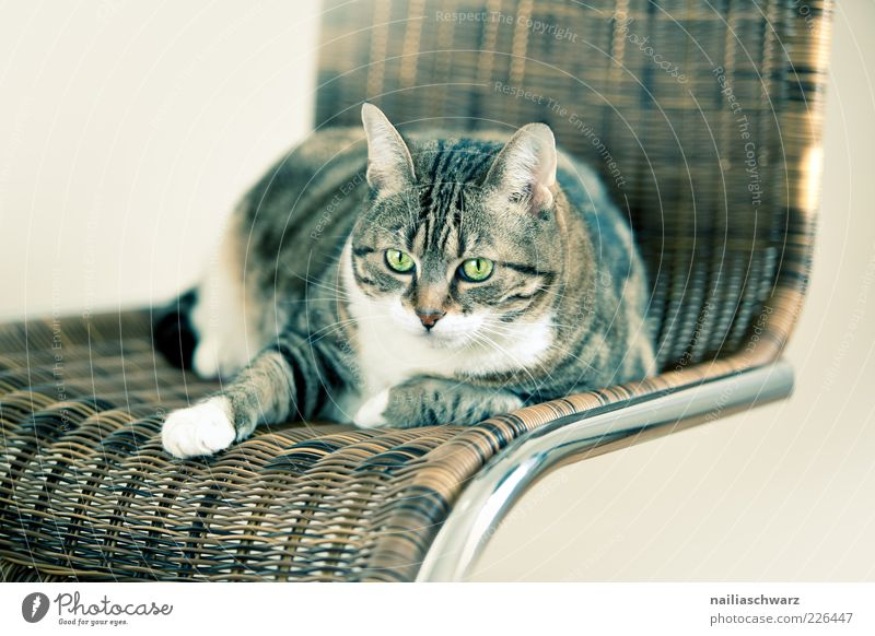 cat chair Animal Pet Cat Animal face 1 Chair Rattan chair Metal Lie Looking Esthetic Brown Silver White Colour photo Subdued colour Interior shot Deserted
