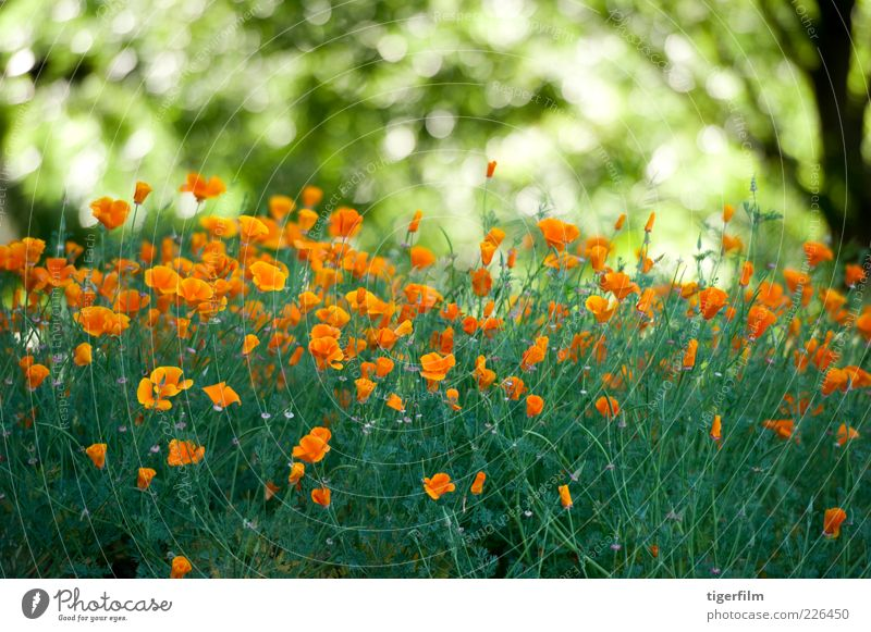 field of poppies Poppy Flower Orange Light Green California Tree Plant Garden Abstract Nature Leaf Copy Space Background picture