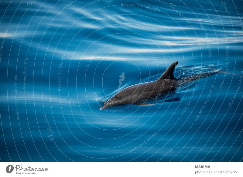 wild dolphin Nature Animal Water Summer Ocean Island Navigation Watercraft Wild animal 1 Swimming & Bathing Blue Gray Atlantic Atlantic Ocean canary islands