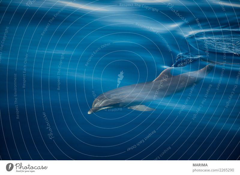 Nature Blue Summer Water Ocean Animal Gray Swimming & Bathing Watercraft Wild Wild animal Europe Island Navigation Whale watching Bottle-nose dolphin