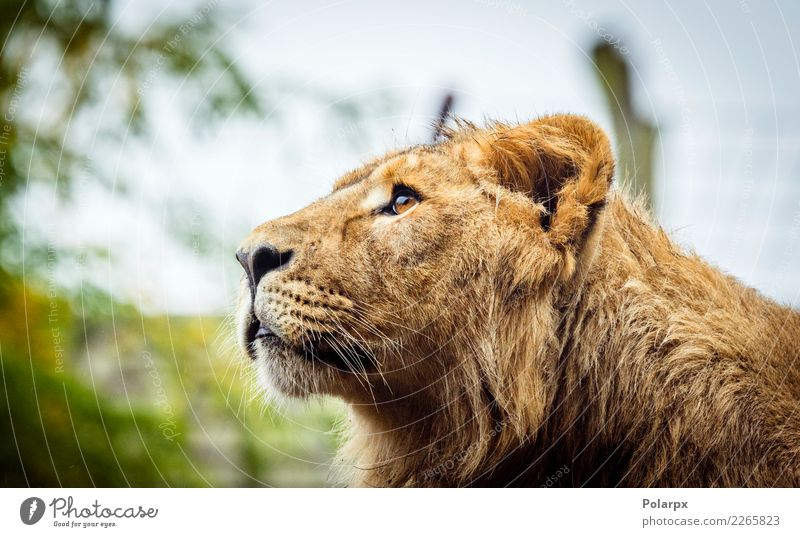 Female lion with wet fur Face Safari Man Adults Zoo Nature Animal Fur coat Cat Large Wild Brown Black Power Might Dangerous Lion head predator wildlife Mane big