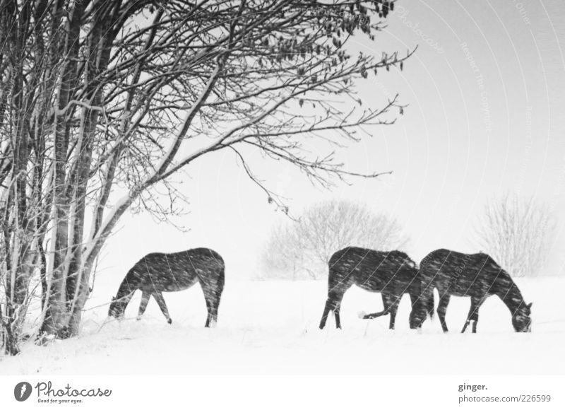 Nature Plant Animal Landscape Winter Environment Snow Snowfall Group of animals Horse To enjoy Pasture Pet Bad weather Farm animal Twigs and branches