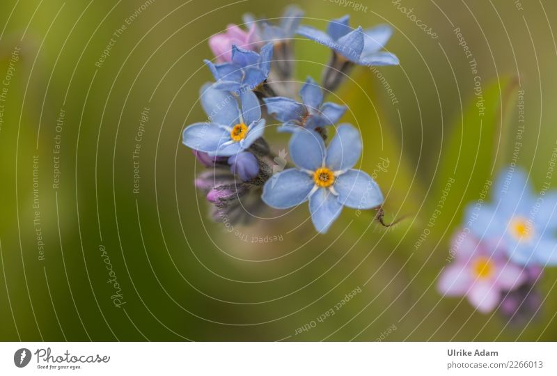 Blue flowers of the forget-me-not (Myosotis) Harmonious Well-being Contentment Relaxation Calm Meditation Valentine's Day Mother's Day Funeral service Nature
