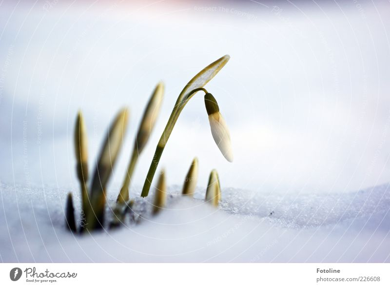 Spring in sight? Environment Nature Landscape Plant Winter Ice Frost Snow Flower Blossom Garden Cool (slang) Fragrance Bright Cold Wet Natural Green White