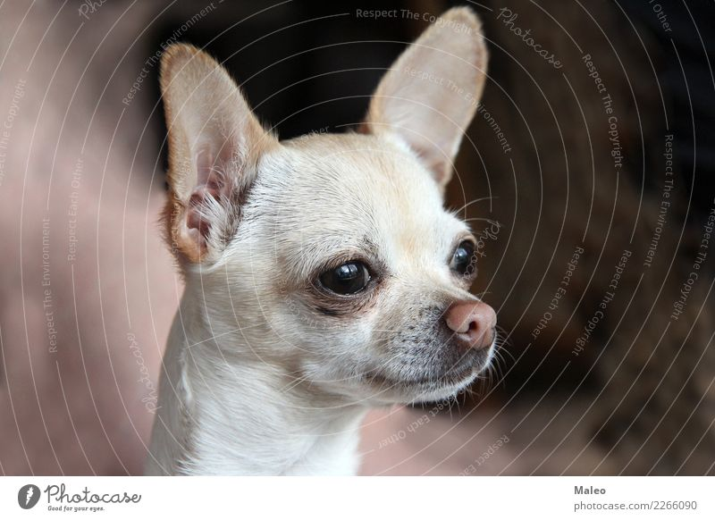 chihuahua Dog Animal Pet Mammal Beautiful Sweet Honey Animal portrait Puppy Small Terrier Nose Chihuahua Desert Purebred dog White Looking Head