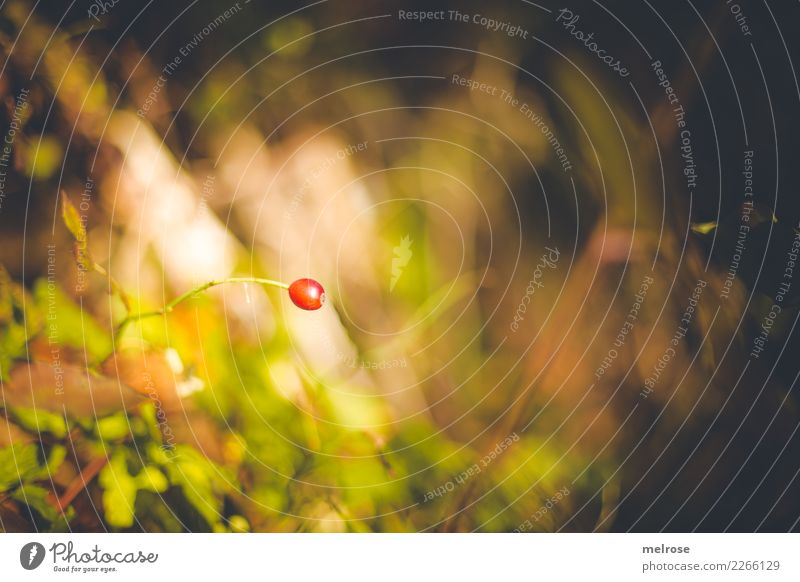 red one ... Nature Autumn Beautiful weather Plant Grass Bushes Wild plant Berry bushes Berries Fruit Forest Patch of colour Loneliness Blur Colour Illuminating