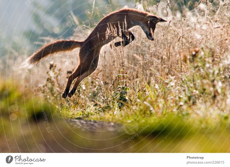 Jumping in the morning Wild animal Pelt 1 Animal Fox Deerstalking Red fox Arch Ear Sense of hearing Catch Hunt for prey Conquer Colour photo Multicoloured