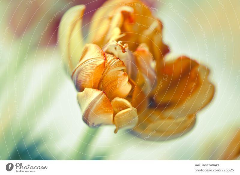 Nature Plant Flower Blossom Orange Esthetic Blossoming Stalk Tulip Faded Blossom leave Limp Pastel tone Pot plant