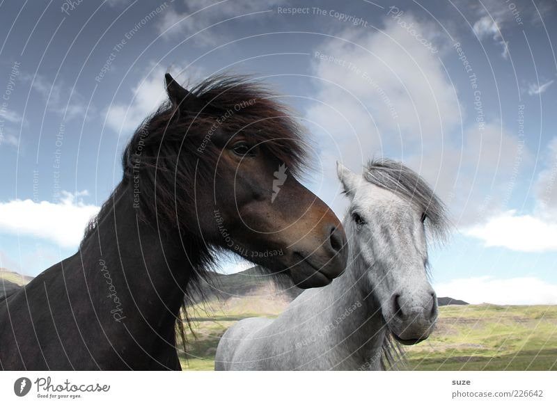 Black-Brown and White-Grey Environment Nature Animal Sky Clouds Beautiful weather Farm animal Horse Animal face 2 Pair of animals Friendliness Natural Curiosity