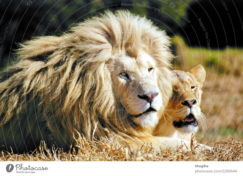 White Lion Pair Nature Animal Cat 2 Lie Dream Esthetic Happy Brown Yellow Gold Green Black Passion Love Love of animals Calm Adventure Eroticism white lions