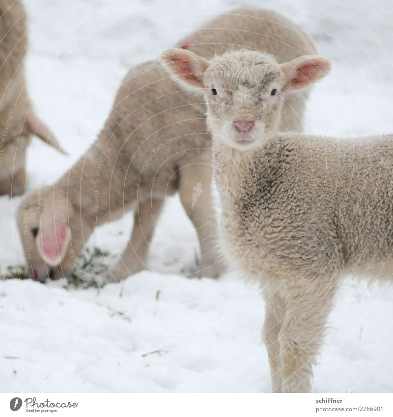 ...and a Happy New Year Animal Farm animal 3 Group of animals Herd Baby animal Cuddly Cliche White Sheep Lamb Flock Sheepskin Watchfulness To feed Observe Snow