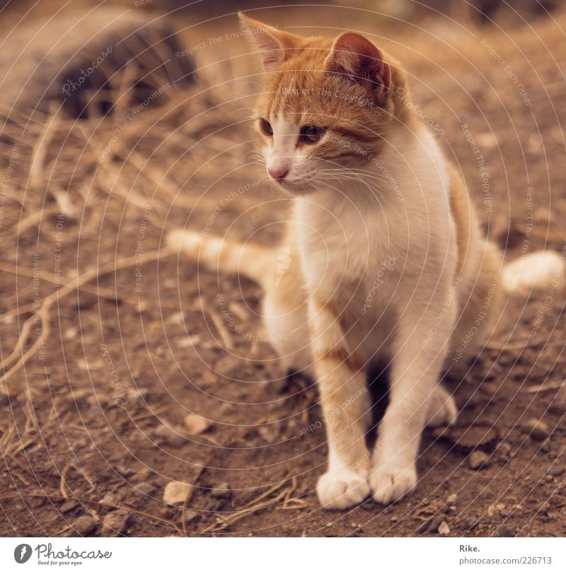 Bold kitten. Earth Sand Pet Wild animal Cat 1 Animal Observe Crouch Sit Thin Free Beautiful Cute Brown Red Watchfulness Calm Nature Environment Stone