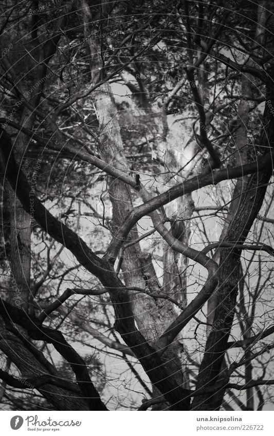 more loyal Environment Nature Tree Forest Growth Many Wild Muddled Branch Treetop Dark Mirkwood Black & white photo Exterior shot Detail Abstract Pattern