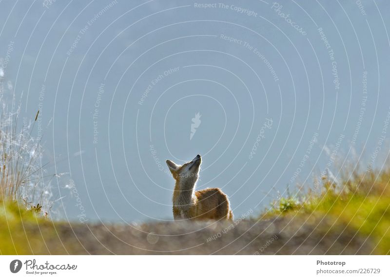Blue Red Animal Head Wild animal Ear Observe Curiosity Longing Pelt Watchfulness Snout Fox Perspective Free-living Free-roaming