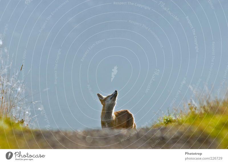 Cheer up! Animal Wild animal Pelt 1 Looking Curiosity Blue Red Longing Fox Upward Watchfulness Observe Colour photo Exterior shot Deserted Morning Light