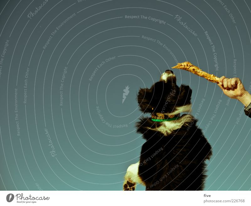 hand in play Leisure and hobbies Playing Sky Cloudless sky Winter Beautiful weather Animal Dog 1 Fight Jump Neckband Stick Hand Fingers To hold on Paw