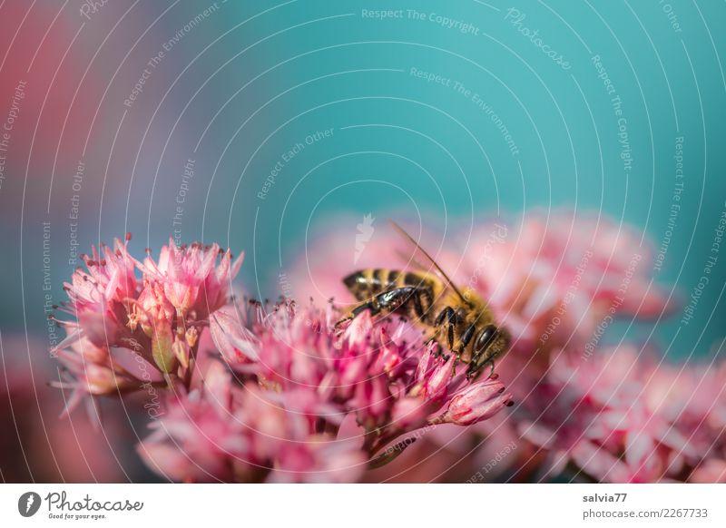 pink flower starlet Environment Nature Plant Animal Sky Summer Flower Blossom Sedum Garden Bee Insect Honey bee 1 Blossoming Fragrance Blue Pink Colour Pollen