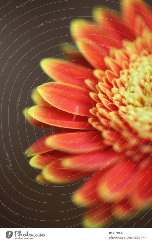 50 percent Plant Spring Flower Blossom Gerbera composite Blossoming Brown Yellow Red Partially visible Blossom leave Orange Copy Space left Copy Space bottom
