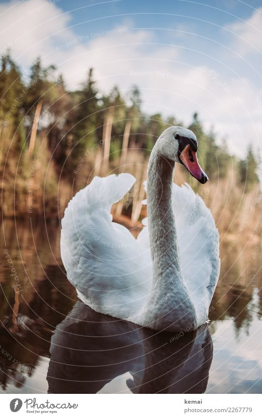 swan Elegant Relaxation Calm Leisure and hobbies Trip Adventure Environment Nature Landscape Animal Water Sky Clouds Beautiful weather Lakeside Wild animal Bird