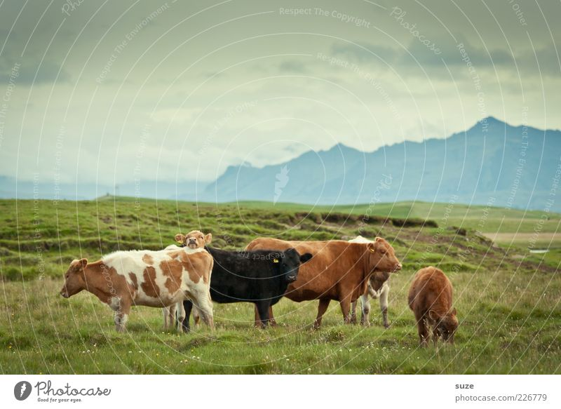 Nature Animal Far-off places Meadow Mountain Grass Natural Group of animals Cow Pasture Iceland Organic produce Alpine pasture Organic farming Farm animal