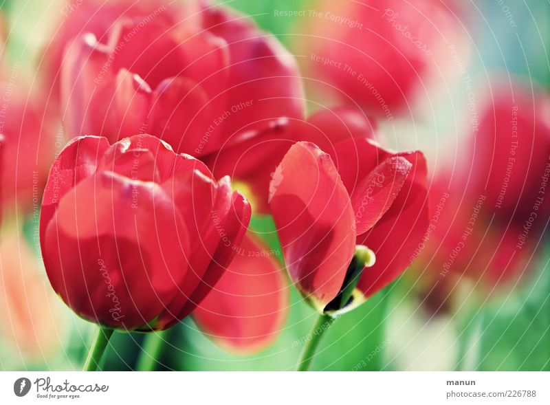 red sea Nature Spring Flower Tulip Blossom Spring colours Spring flower Spring flowerbed Spring flowering plant Calyx Tulip blossom Blossoming Fragrance