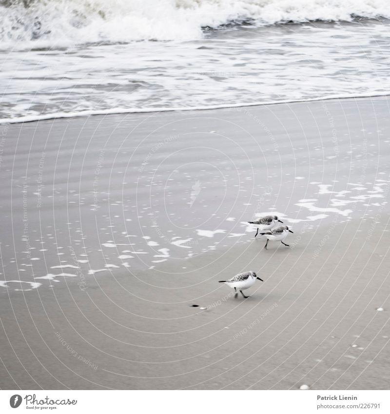 Alpine Sandpiper Environment Nature Animal Elements Water Weather Waves Coast Beach North Sea Ocean Island Wild animal Bird 3 Walking Elegant Beautiful Small