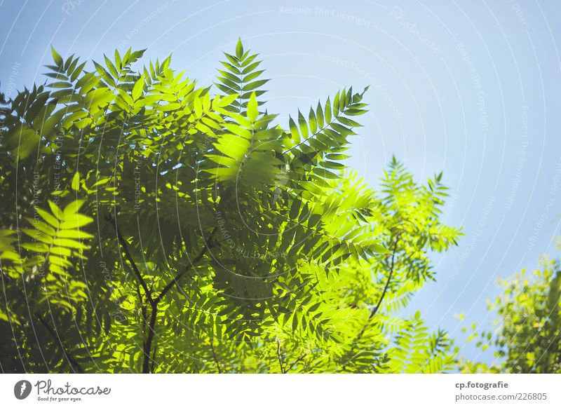 Sky Nature Green Beautiful Tree Plant Sun Summer Leaf Lamp Fresh Natural Beautiful weather Cloudless sky Twigs and branches