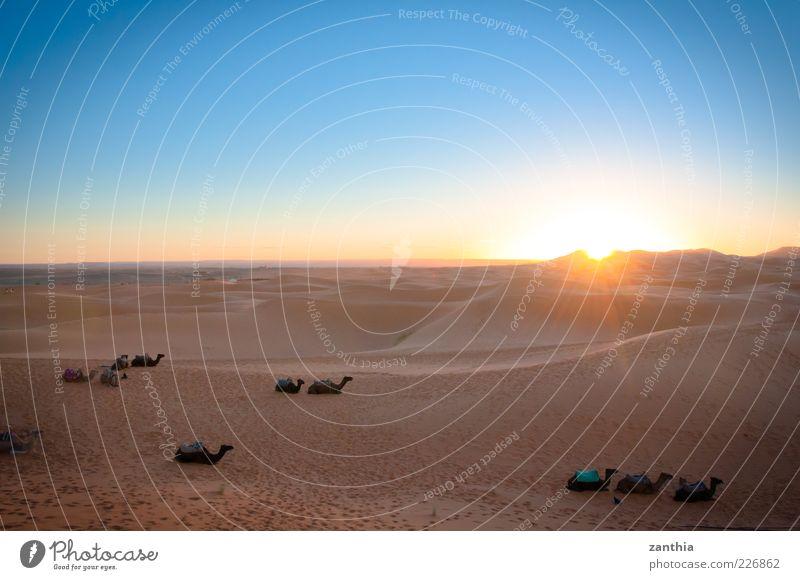 sunrise over the desert Nature Landscape Sand Sky Cloudless sky Sunrise Sunset Sunlight Beautiful weather Desert Sahara Dune Animal Farm animal Camel Herd