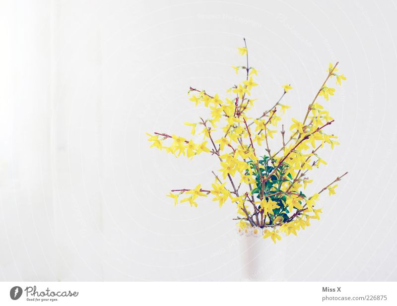 White Leaf Yellow Blossom Spring Bright Bushes Branch Blossoming Fragrance Bouquet Flower Flower vase Spring flowering plant Forsythia blossom