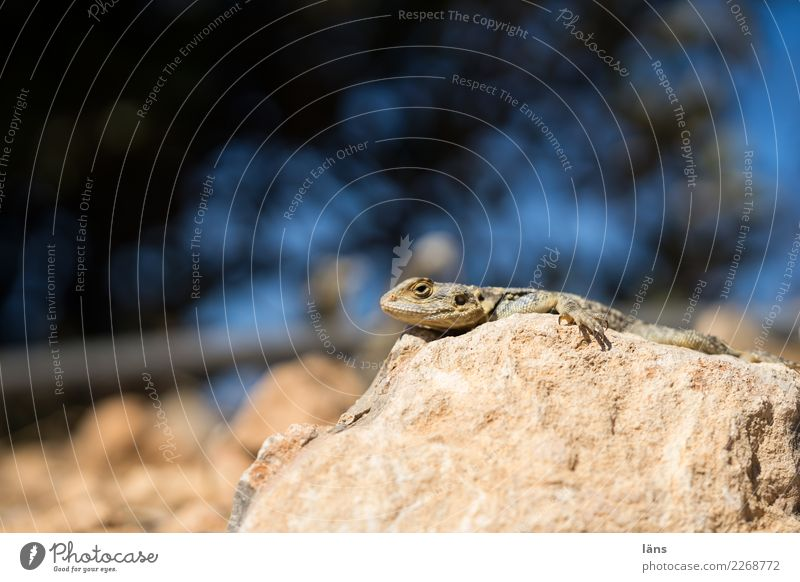 heat seeker Beautiful weather Warmth Rock Mountain Animal Lizards 1 Observe Relaxation Lie Wait Curiosity Heat Colour photo Exterior shot Copy Space top