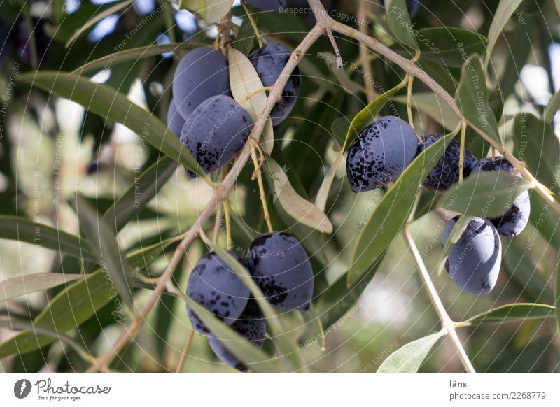 Plant Green Tree Autumn Food Nutrition Growth Fresh To enjoy Beautiful weather Violet Mature Quality Olive Olive tree Olive leaf