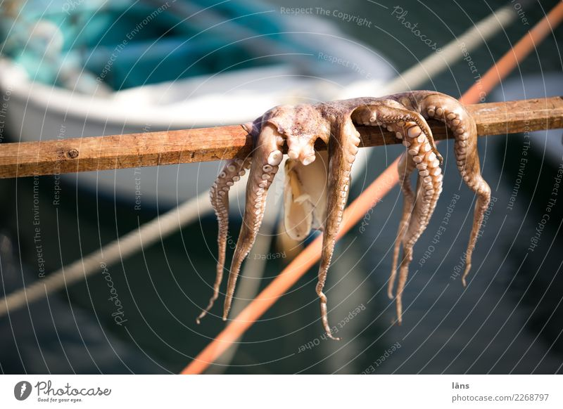 octopus Food Seafood Nutrition Vacation & Travel Ocean Naoussa Navigation Fishing boat Hang Exceptional Dry freshly caught Harbour Day Shallow depth of field