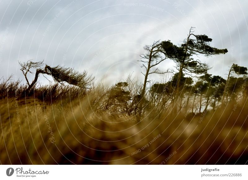 western beach Environment Nature Landscape Plant Sky Climate Weather Wind Tree Grass Coast Baltic Sea Darss Western Beach Dark Natural Wild Moody Wind cripple
