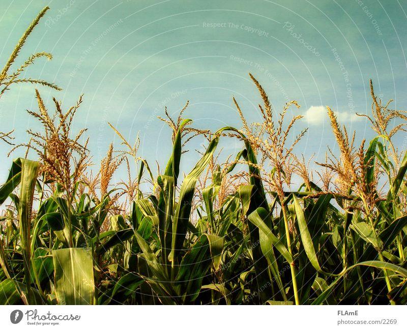 maize field Field Grain Plant Maize field