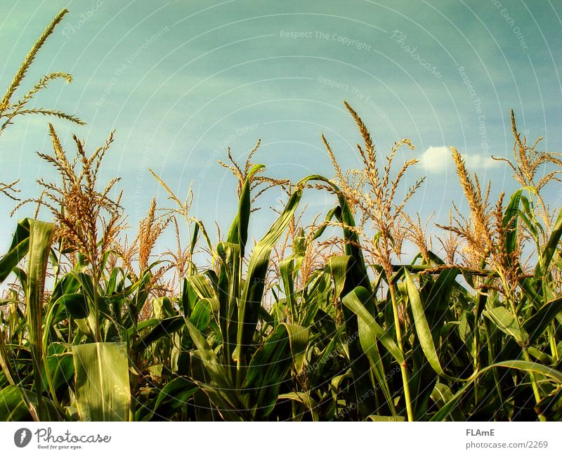 Plant Field Grain Maize Maize field