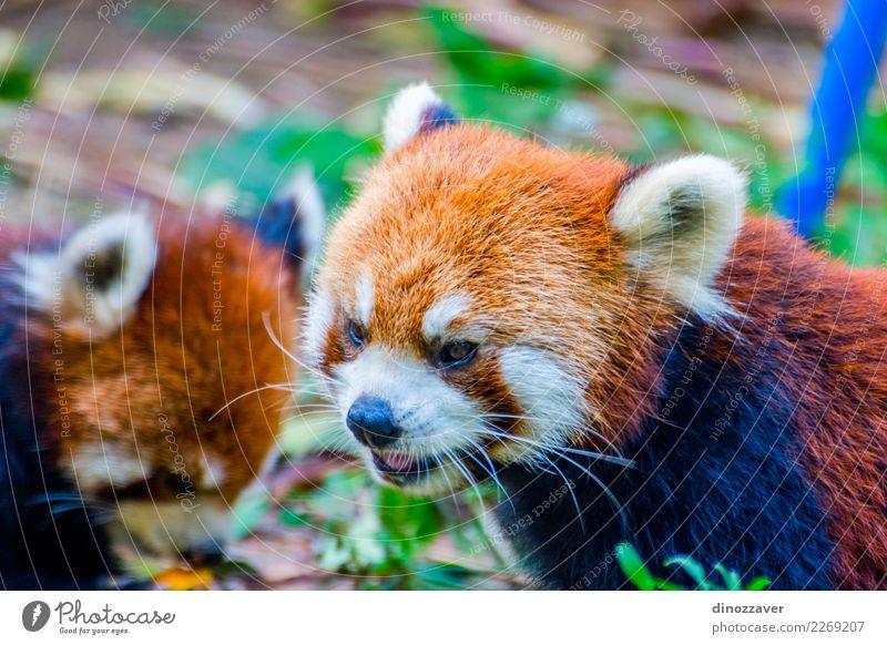 Red panda (Ailurus fulgens) eating pumpkins Eating Safari Zoo Nature Animal Leaf Park Forest Fur coat Pet Cat Small Cute Wild Brown Green White Panda wildlife