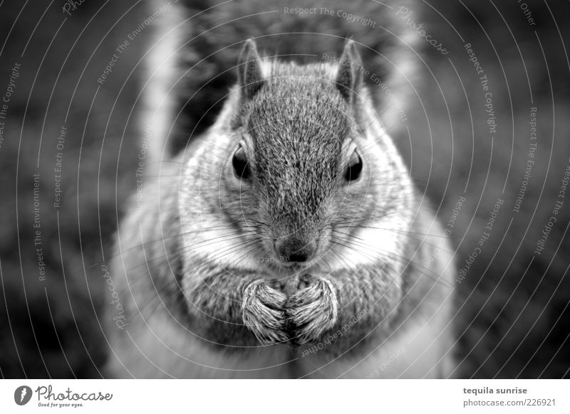 Omnomnoma Animal Wild animal Rodent Squirrel 1 To feed Feeding Fat Black & white photo Exterior shot Shallow depth of field Animal portrait Front view