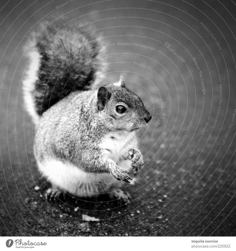 Moar cracker...? Animal Wild animal Rodent Squirrel 1 To feed Feeding Wait Fat Beg Overweight Black & white photo Exterior shot Copy Space right