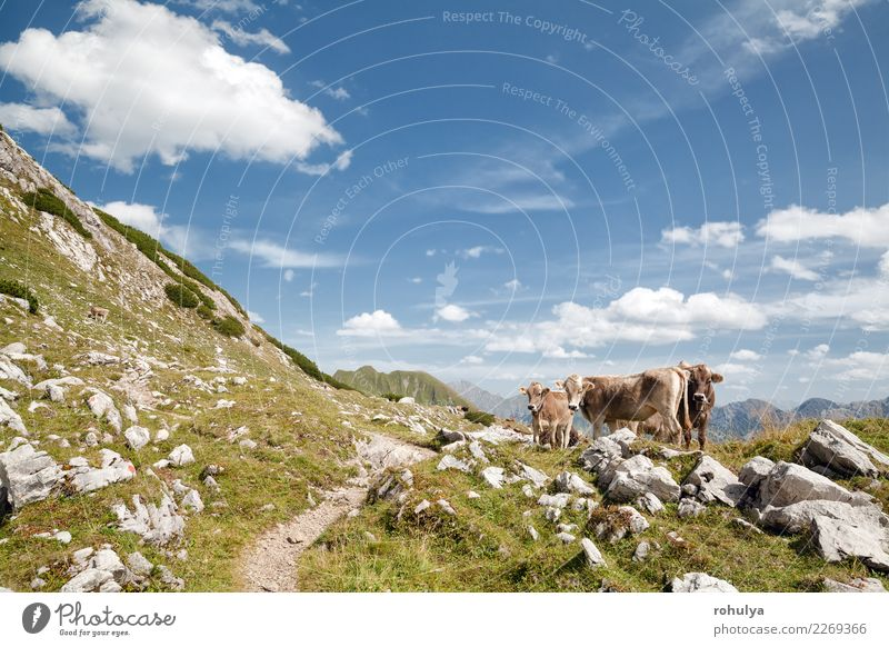 brown alpine cows on pasture in mountains, Germany Vacation & Travel Summer Mountain Climbing Mountaineering Nature Landscape Animal Sky Clouds