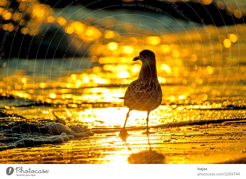 Silver Gull at sunrise on the beach Beach Nature Animal Water Warmth Baltic Sea Bird Yellow Gold Black Silvery gull Larus argentatus Pontoppidan youthful golden