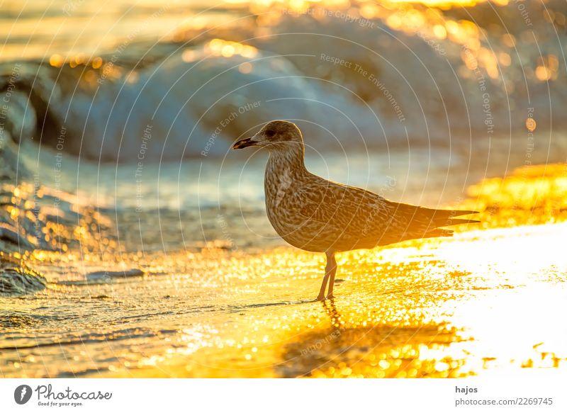Silver Gull at sunrise on the beach Beach Nature Animal Water Warmth Baltic Sea Wild animal Bird 1 Beautiful Silvery gull Larus argentatus Pontoppidan youthful