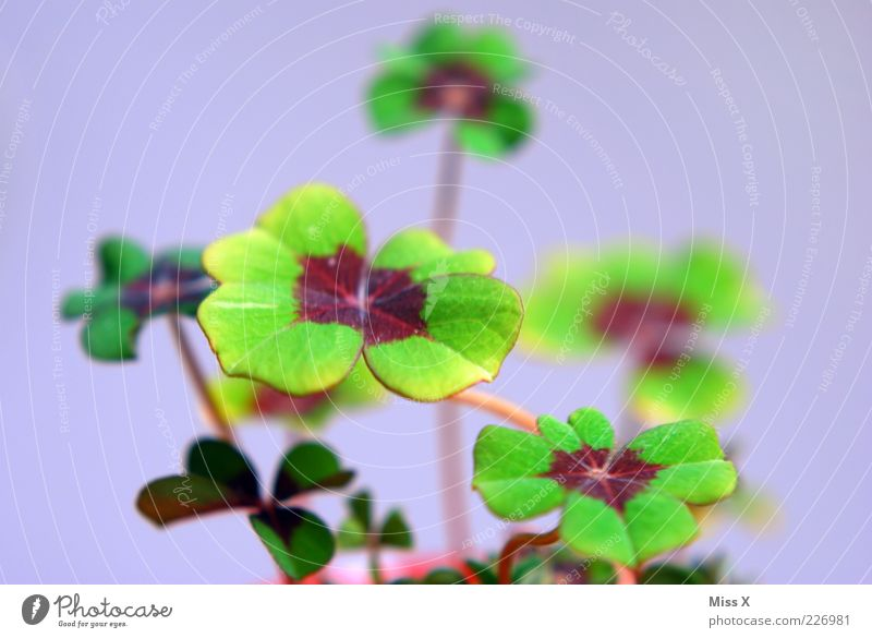 lucky clover Plant Leaf Growth Exceptional Green Good luck charm Four-leafed clover Cloverleaf Four-leaved Happy Pot plant Colour photo Multicoloured Close-up