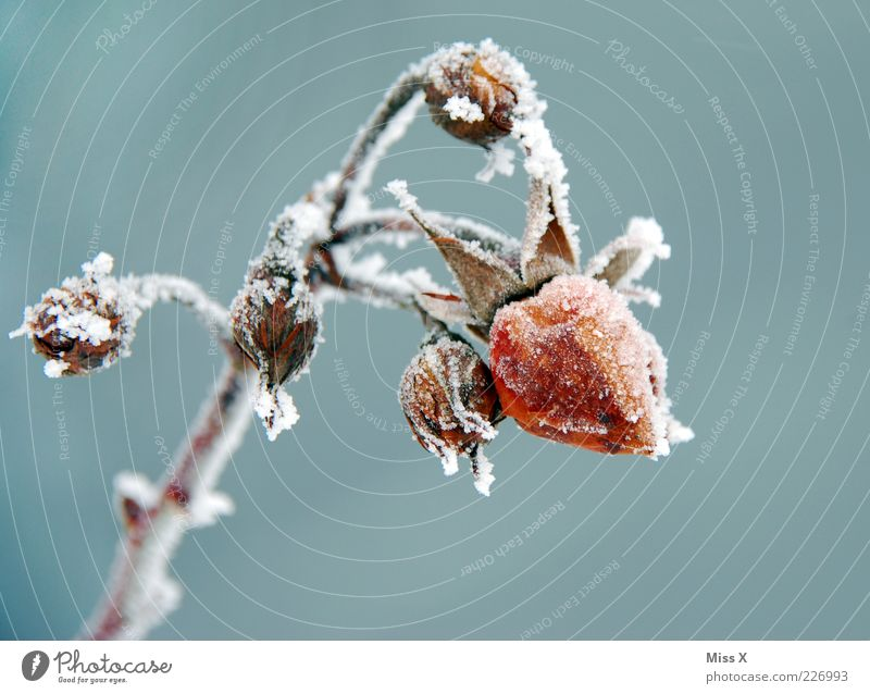 Frosty Rose Winter Plant Flower Leaf Blossom Garden Cold Hoar frost Ice Bud Freeze to death Limp Colour photo Exterior shot Close-up Deserted Neutral Background